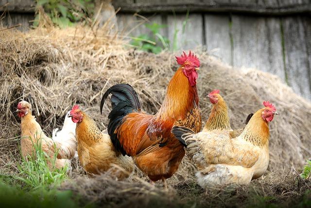 属鸡的今年多大,2019年属鸡的年龄是多少岁?
