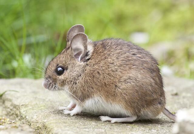 属鼠的今年多大?